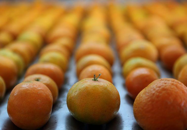 תפוזים. צילום: פלאש 90