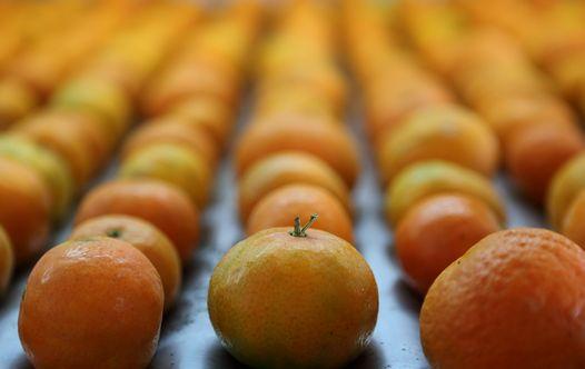 תפוזים (צילום: פלאש 90)