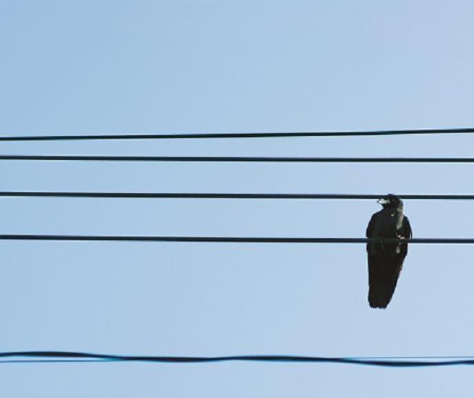 עורב ציפור ציפורים עורבים