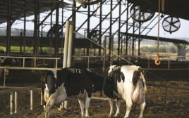 פרות חלב בישראל