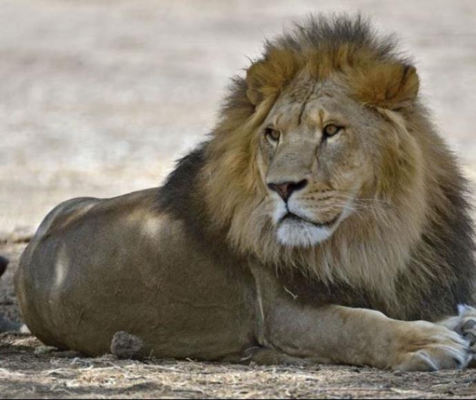 האריה סמוני מהספארי