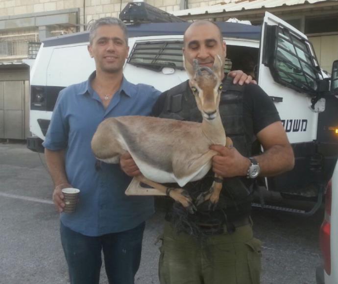 """הצבי שנתפס בפעילות צה""""ל והמשטרה"""