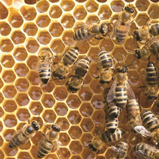 דבורים, דבש (צילום: אינגאימג)