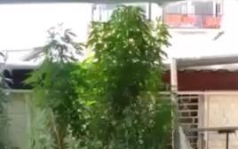 צמחי הקנאביס