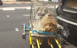 כלב מובל בצורה מסוכנת על כביש 443