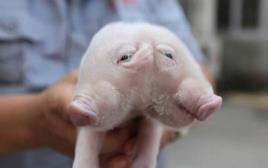 החזיר בעל שני הראשים