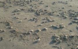 הסרטנים המתים בחוף עכו