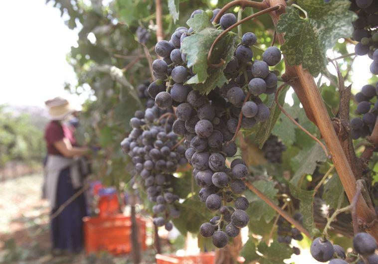 גפני יין ביהודה ושומרון