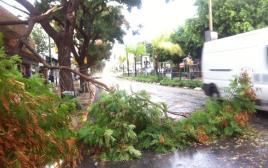 עץ קרס ברחוב הראשי בכפר סבא