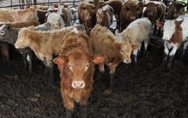 פרות ברפת, ארכיון