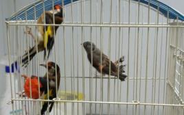 """הציפורים המוברחות שנתפסו ע""""י פקחי משרד החקלאות"""