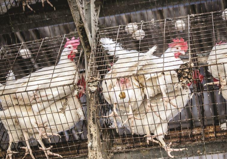 לול תרנגולות