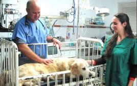 """ד""""ר גיל שביט ונועה ממן מטפלים בכלב"""