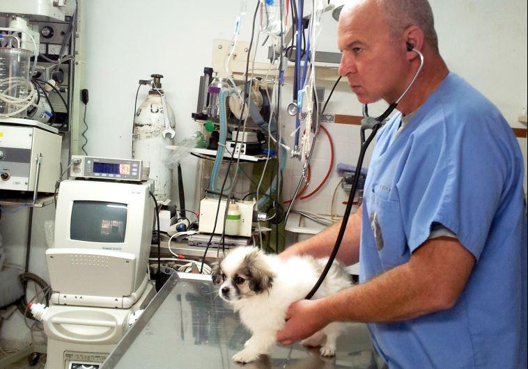 """""""כלבים קטנים וגורים סובלים הרבה יותר מהקור"""", ד""""ר שביט מטפל בכלב. צילום: יח""""צ"""