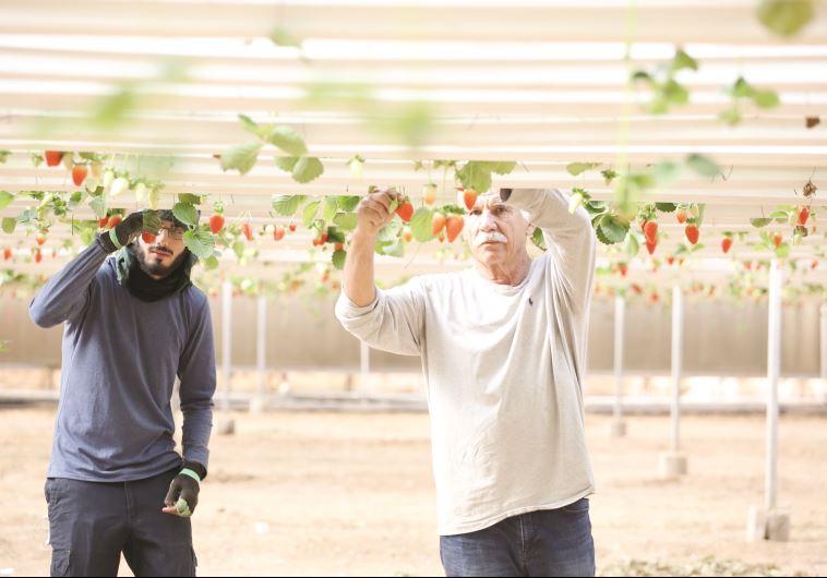 חקלאי בערבה. צילום: מירי צח