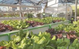 חקלאות עירונית. חלקת ירקות בסנטר