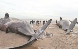 לווייתן מת על החוף בהודו