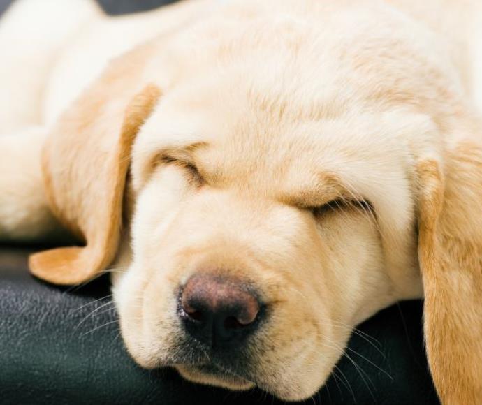 כלב ישן