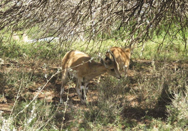 בעלי חיים סמוך לקברו של בן גוריון. צילום: מיטל שרעבי