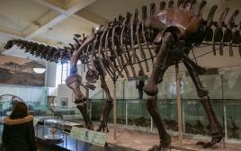 דגם של שלד דינוזאור במוזיאון לטבע