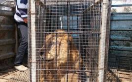 אריה שהועבר מגן החיות בעזה לגן החיות בטול כרם