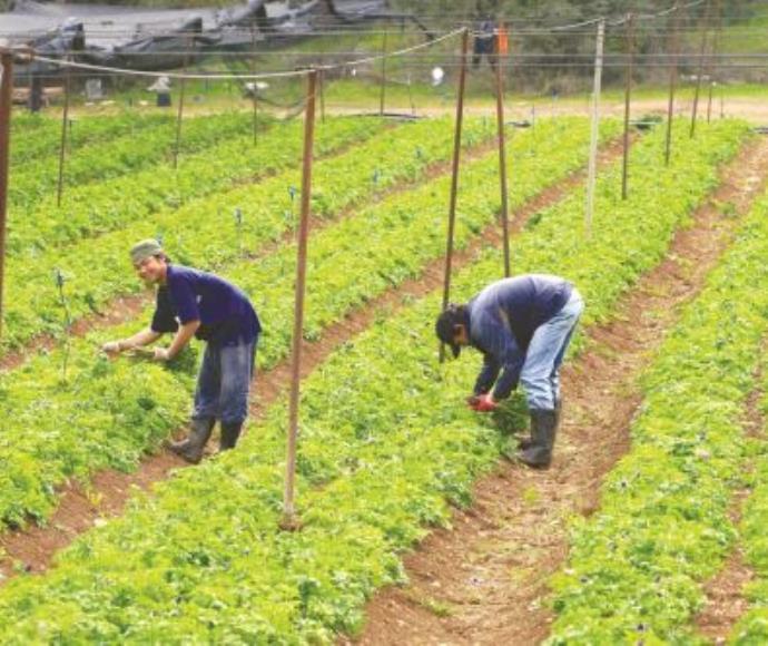 עובדים זרים בחקלאות