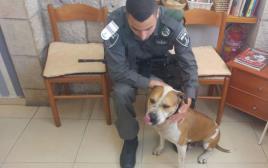 כלב האמסף שנגנב למטרות שימוש בקרבות כלבים