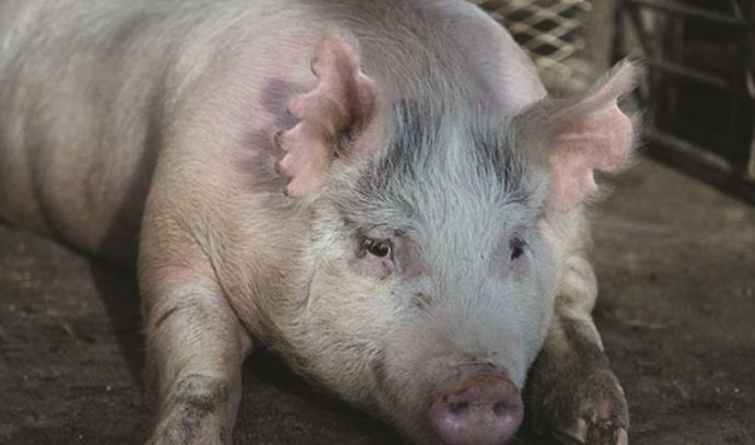 חזיר מבוית