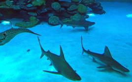 כרישים במצפה התת ימי באילת