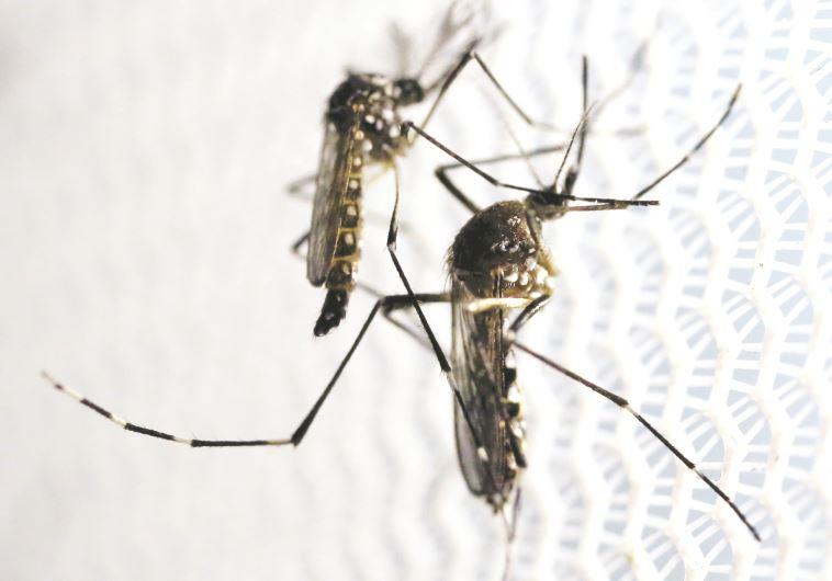 יתושים (צילום: רויטרס)
