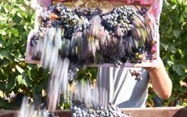קטיף ענבים בציר