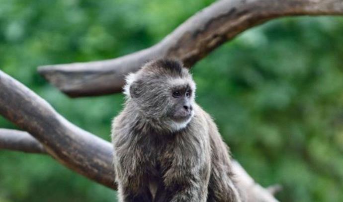 הקוף קונר