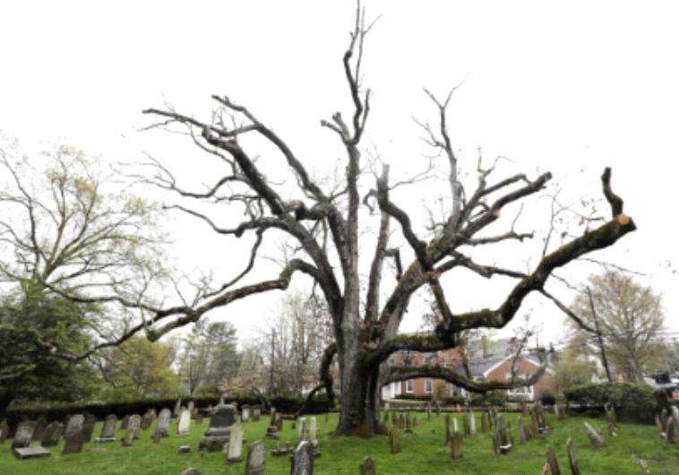 """העץ העתיק יותר בארה""""ב"""