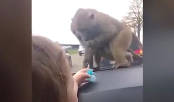 נקמה של קוף
