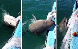 כריש שובב לא מוכן לוותר על הרשת ועל הדגים