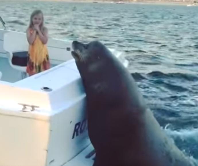 כלב ים ענקי טופס טראמפ על סירה ומחכה לדגים