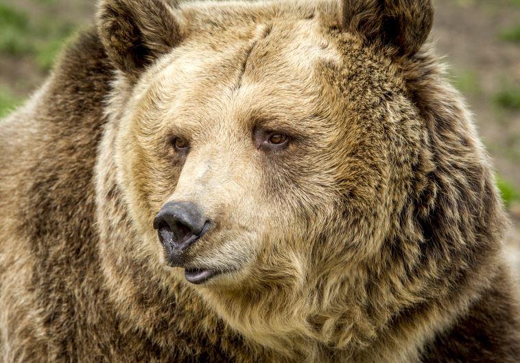 דוב מואשם בגרימת מותן של 209 כבשים