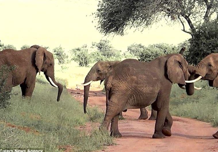 פילים נלחמים (צילום: יוטיוב)