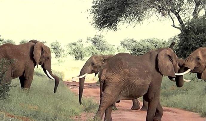 פילים נלחמים