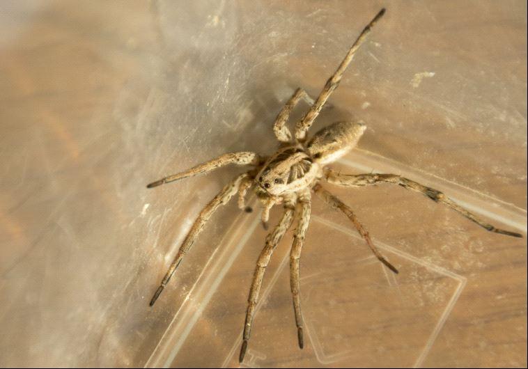 ראה עכביש גדול, ניסה להרוג אותו לשרף לעצמו את הדירה. צילום: אינגאימג