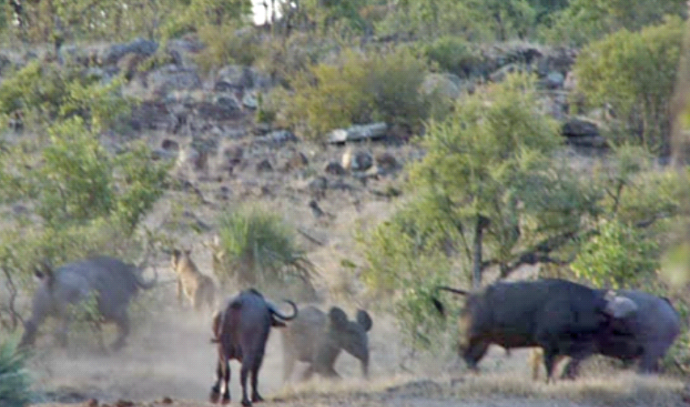 תאואים מצילים פיל